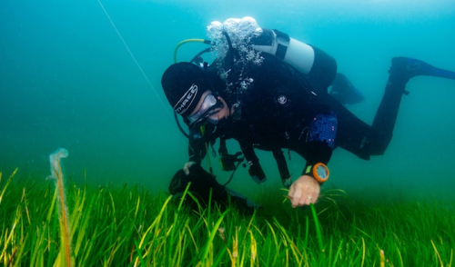 Undersea meadows being restored to tackle climate change