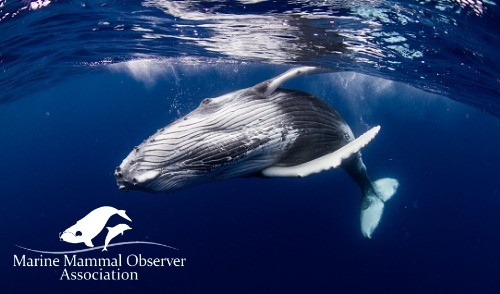 Marine Mammal Observer Association partners with the IMarEST