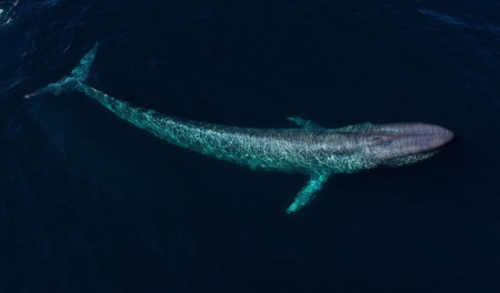 Blue whale heart data captured for first time in the wild